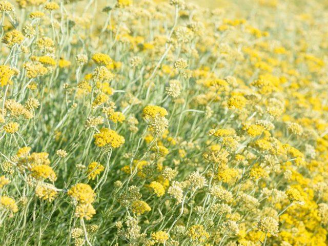Helichrysum-Italicum